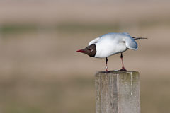 Free Black Headed Gull Royalty Free Stock Images - 16504009