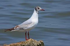 Black headed gull. (larus ridibundus or chroicocephalus ridibundus) stading on rock in middle of blue lake stock images