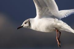 Black-headed gull. Portrait of a Black-headed gull in flight stock photos