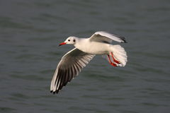 Black headed gull Royalty Free Stock Photography
