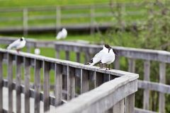 Free Black-headed Gull Stock Photography - 19180982