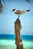 Black Headed Gull. A Black Headed Gull Overlooking the Beautiful Blue Ocean royalty free stock photos