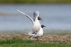 Black-headed gull Royalty Free Stock Images