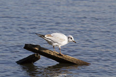Black headed gull Royalty Free Stock Photo