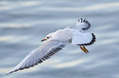 Black Headed Gull Stock Photo