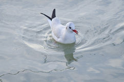 Black Headed Gull Stock Image