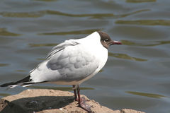 Black headed gull. Larus ridibundus Stock Images