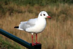 Black-headed gull. The Black-headed Gull (Larus ridibundus) is a small gull which breeds in much of Europe and Asia, and also in coastal eastern Canada. The stock images