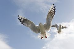 Black-headed Gull. (larus ridibundus), pair in winter plumage, hovering in air and begging for food Stock Images