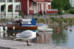Black-headed Gull Stock Photos