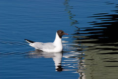 Black headed gull Stock Photography