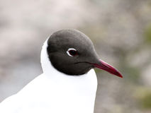 Black-headed gull. Portrait of a black-headed gull Royalty Free Stock Photography