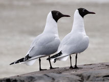 Black-headed gull. Two black-headed gulls on a cliff Royalty Free Stock Photos