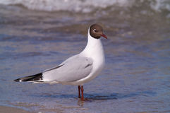 Black-headed gull Stock Images