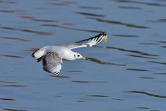Black-headed gull in adult  winter plumage. In flight Royalty Free Stock Photos