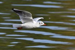 Black-headed gull in adult  winter plumage. Black-headed gull in adult winter plumage in flight Stock Photos