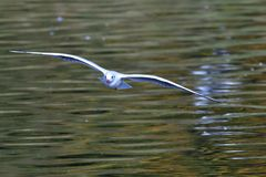 Black-headed gull in adult  winter plumage. In flight Stock Photography