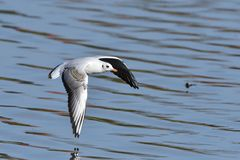 Black-headed gull in adult  winter plumage. In flight Royalty Free Stock Photography