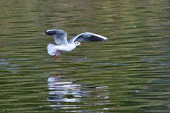 Black-headed gull in adult  winter plumage. In flight Stock Images