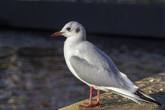 Black-headed gull in adult winter plumage sitting on the quay. stock images