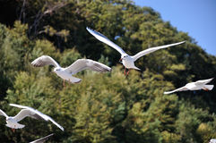 black-headed-gull Stock Photography