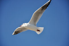 Black-headed-gull Royalty Free Stock Photos