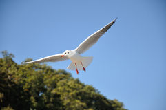 Black-headed-gull Royalty Free Stock Images