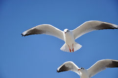 Black-headed-gull Stock Image