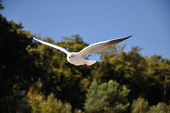 Black-headed-gull Royalty Free Stock Photo