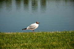 The black-headed gull. The beautiful black-headed gull sitting on green grass near water royalty free stock photography