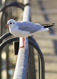 Black-headed Gull bis Royalty Free Stock Photos