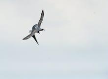 Black-headed gull (Chroicocephalus ridibundus) Stock Images