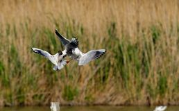 Black-headed gull (Chroicocephalus ridibundus) Stock Photos