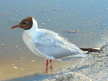 Black-headed Gull (Chroicocephalus ridibundus) Stock Photo