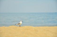 The black-headed gull Royalty Free Stock Photo