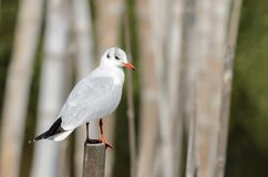 Black-headed Gull or Chroicocephalus ridibundus. Black-headed Gull or Chroicocephalus ridibundus, beautiful bird in winter plumage standing on the stub with Stock Image