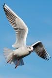 Black-headed gull - Chroicocephalus ridibundus Stock Photography