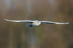 Black-headed gull - Chroicocephalus ridibundus Stock Images