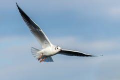 Black-headed gull - Chroicocephalus ridibundus Royalty Free Stock Photography