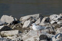 A black-headed gull Chroicocephalus ridibundus. Standing on rocks Royalty Free Stock Images