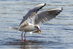 Black-headed gull, Chroicocephalus ridibundus, catching a fish. Out of the water royalty free stock photos