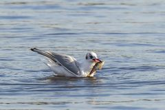 Black-headed gull, Chroicocephalus ridibundus, catching a fish. Out of the water royalty free stock image