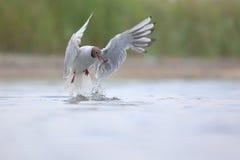 Black-headed Gull (Chroicocephalus ridibundus). Caught fish Royalty Free Stock Photo