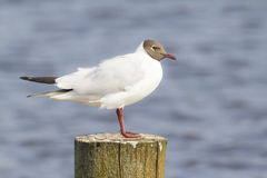 Black-headed gull, Chroicocephalus ridibundus Stock Photography