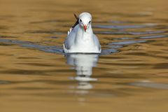 Black-headed Gull, Chroicocephalus ridibundus, in the dark water, France. Face portrait, in river water surface. Wildlife Royalty Free Stock Images