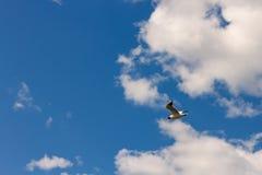 Black-headed gull Chroicocephalus ridibundus flying in blue cloudy skies on back stock photo