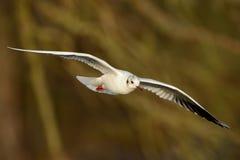 Black-headed Gull & x28;Chroicocephalus ridibundus& x29;. Flying with brown background Stock Images