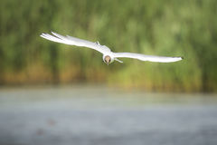 Black-headed gull, Chroicocephalus ridibundus, flying Royalty Free Stock Images