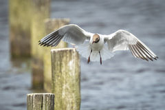 Black-headed gull, Chroicocephalus ridibundus, flying Stock Photo