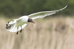 Black-headed gull, Chroicocephalus ridibundus, flying Royalty Free Stock Photo